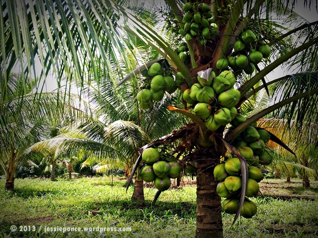 tropical fruits facts and legends coconut the tree of life  jessie t ponce photography fruit bearing young coconut trees